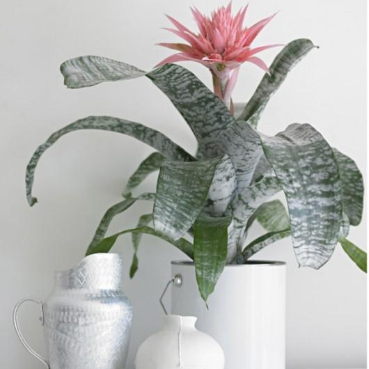 Plante Aechmea